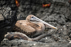 Brown pelican taking it easy between fishing trips.