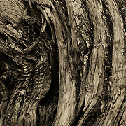 A closeup of the interesting patterns found in the bark of an old tree in Walnut Canyon