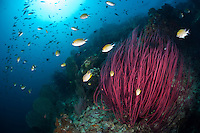 The strong currents in the Misool area create perfect conditions for filter feeders such as soft corals, sea whips and fans and many of the dive sites have huge fields of fans and whips.  The reefs of Raja Ampat are some of the most diverse and healthiest in the world.