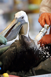 09 June 2010. Fort Jackson, Venice, Louisiana.<br /> What have we done? Pelicans coated in oil are cleaned and cared for at the International Bird Rescue Research Center (IBRRC)in Fort Jackson. The animals have been collected from marshes throughout Louisiana where BP's catastrophic oil spill washes ashore.<br /> Photo; Charlie Varley/varleypix.com