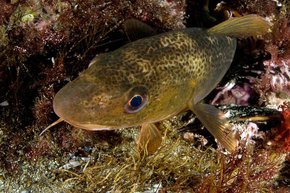 Cod, Gadus Morhua<br /> Atlantic marine life, Saltstraumen, Bod&ouml;, Norway