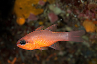 Cardinalfish (Apogon imberbis) Larvotto Marine Reserve, Monaco, Mediterranean Sea<br /> Mission: Larvotto marine Reserve