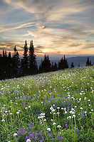 Skyline Divide wildflower meadows at sunset, Mount Baker Wilderness Washington
