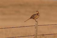 Hen pheasant standing on a barb-wire fence post.