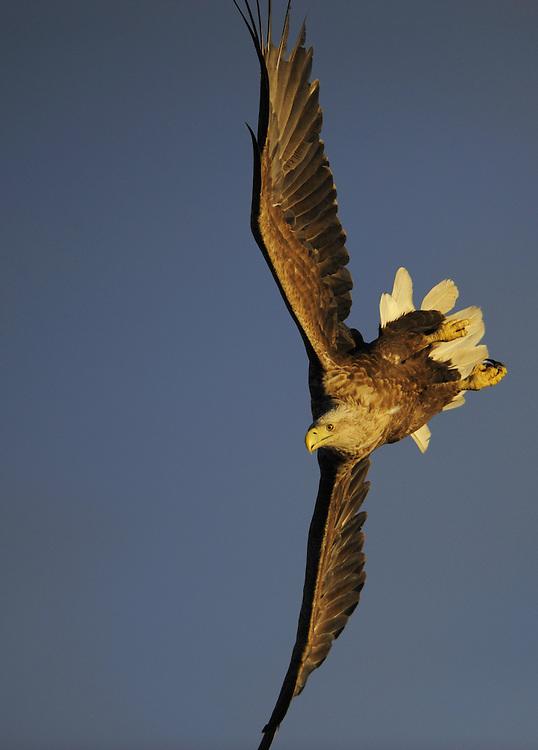 White-tailed Sea Eagle, Haliaeetus albicilla, Flatanger, Nord-Trondelag, Norway