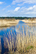 Reedbed and marshes in The Somerset Levels Nature Reserve in Southern England, UK