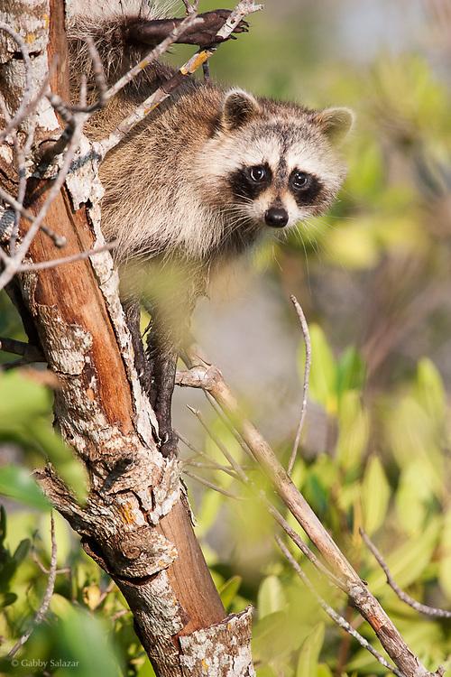 "Raccoon. J. N. ""Ding"" Darling National Wildlife Refuge, Sanibel Island, Florida."