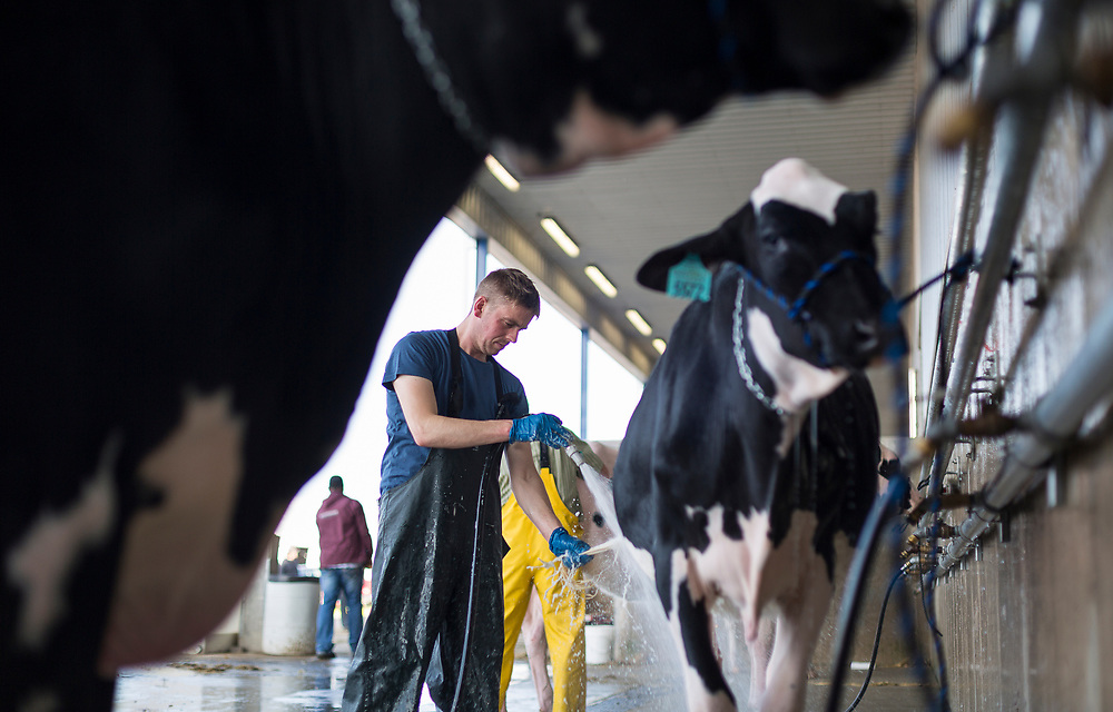 Michael Booth from Oakfield Corners, NY washes a cow during the World Dairy Expo in Madison, Wisconsin, U.S., October 3, 2018.  REUTERS/Ben Brewer