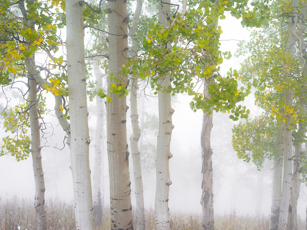 Ground fog filters through an aspen forest in Nebo Canyon, Utah.