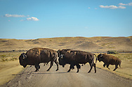 As I drove towards the Frenchman Valley campground, this herd of bison crossed the road in front of me.