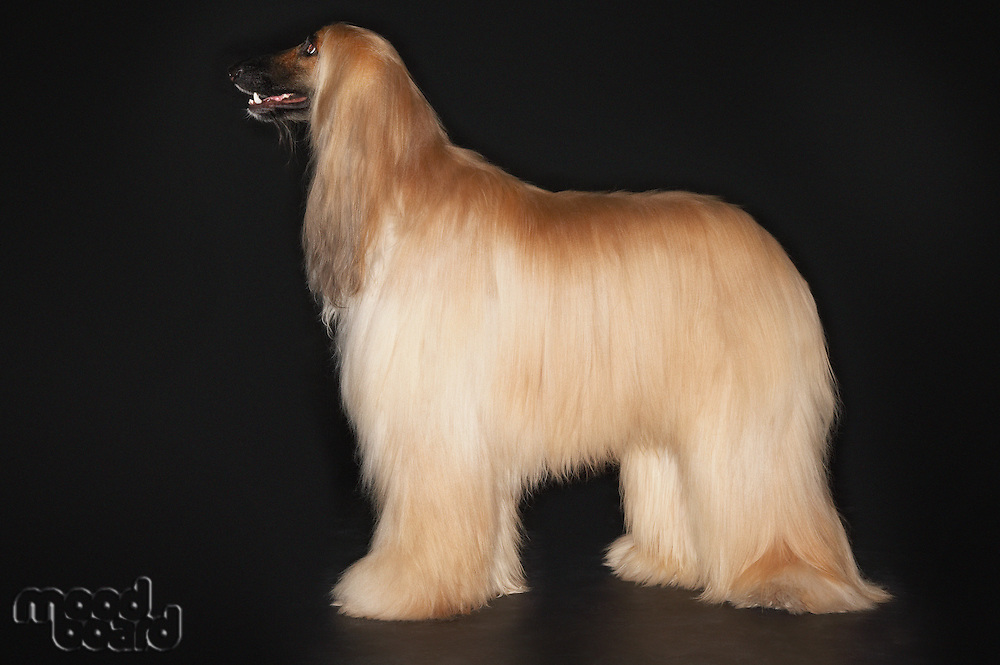 Afghan hound standing profile