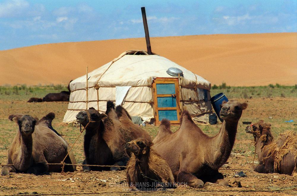 Mongolei, MNG, 2003: Kamel (Camelus bactrianus). Eine Jurte am Fuß einer Sanddüne in Süd-Gobi, im Vordergrund rastet eine Gruppe von Stuten mit ihren Fohlen.   Mongolia, MNG, 2003: Camel, Camelus bactrianus, yurt (mongolian Ger) at the feet of a sand dune, group of mares with their foals relaxed resting in the front, South Gobi.  