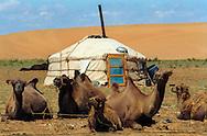 Mongolei, MNG, 2003: Kamel (Camelus bactrianus). Eine Jurte am Fuß einer Sanddüne in Süd-Gobi, im Vordergrund rastet eine Gruppe von Stuten mit ihren Fohlen. | Mongolia, MNG, 2003: Camel, Camelus bactrianus, yurt (mongolian Ger) at the feet of a sand dune, group of mares with their foals relaxed resting in the front, South Gobi. |