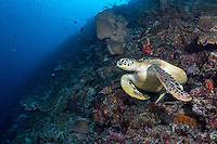 A Green Sea Turtle along a reef slope<br /> <br /> Shot in Indonesia