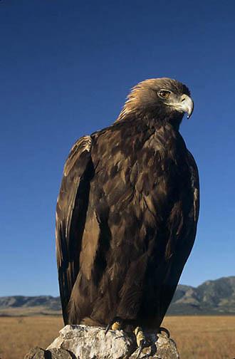 Golden Eagle, (Aquila chrysaetos)  Portrait. Captive Animal.