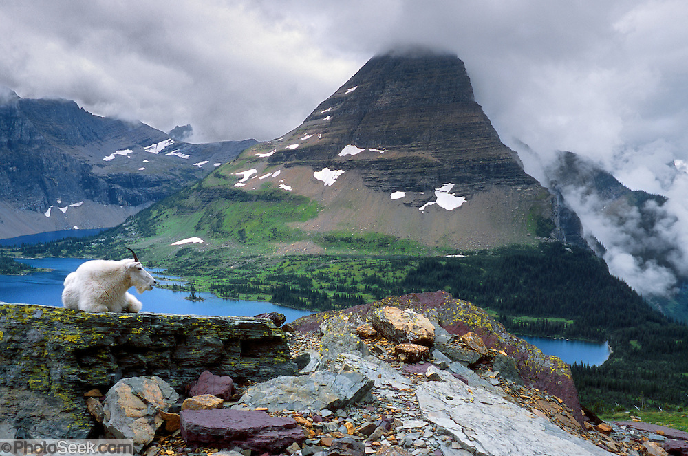"""A mountain goat rests at Hidden Lake by Bearhat Mountain in Glacier National Park, Montana, USA. The mountain goat (Oreamnos americanus, or Rocky Mountain Goat) is a large-hoofed mammal found only in North America. It is an even-toed ungulate in the family Bovidae, in subfamily Caprinae (goat-antelopes), in the Oreamnos genus, but is NOT a true """"goat"""" (or Capra genus). Since 1932, Canada and USA have shared Waterton-Glacier International Peace Park, which UNESCO declared a World Heritage Site (1995) containing two Biosphere Reserves (1976). Rocks in the park are primarily sedimentary layers deposited in shallow seas over 1.6 billion to 800 million years ago. During the tectonic formation of the Rocky Mountains 170 million years ago, the Lewis Overthrust displaced these old rocks over newer Cretaceous age rocks. Glaciers carved spectacular U-shaped valleys and pyramidal peaks as recently as the Last Glacial Maximum (the last """"Ice Age"""" 25,000 to 13,000 years ago). Of the 150 glaciers existing in the mid 1800s, only 25 active glaciers remain in the park as of 2010, and all may disappear as soon as 2020, say climate scientists."""