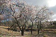 Prunus dulcis (almond). Malaga, Andalucia, Spain.