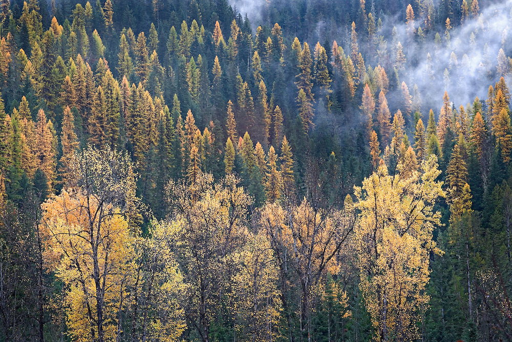 Autumn Tamarak Trees on Misty Mountainside, Northern Idaho