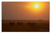 Zebras at dawn in Maasai Mara, Kenya.  Nikon D4, 200-400mm @ 300mm, f4, 1/3200sec, ISO320, Aperture priority
