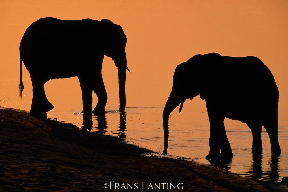 African elephants at river's edge, Loxodonta africana, Chobe National Park, Botswana