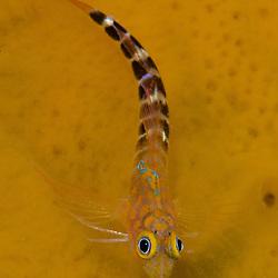Blue Dot Triplefin, Notoclinops caerulepunctus