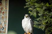 Austria, County of Salzburg, Hohenwerfen Castle Birds of Prey Show a Falcon