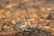 Shorelark Eremophila alpestris L 16-17cm. Well-marked but unobtrusive when feeding among saltmarsh plants. Sexes are similar but female is duller than male.<br /> Summer adult (sometimes seen on migration) has grey-brown or sandy brown upperparts, streaked on back. Underparts are mainly white but with black breast band and faint buff streaks on flanks. Head is yellow with black band through eye and ear coverts; black forecrown extends to 2 projecting 'horns'. Winter adult is similar but duller and 'horns' are absent. Juvenile is similar to winter adult but upperparts have pale spots. Voice Flight call is a thin see-seer. Status Best known as a scarce winter visitor to coastal saltmarsh. Usually found in small flocks.