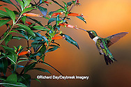 01162-08913 Ruby-throated Hummingbird (Archilochus colubris) male on Cigar Plant (Cuphea ignea) Shelby Co.  IL