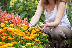 Deadheading summer bedding - marigolds (Calendula).