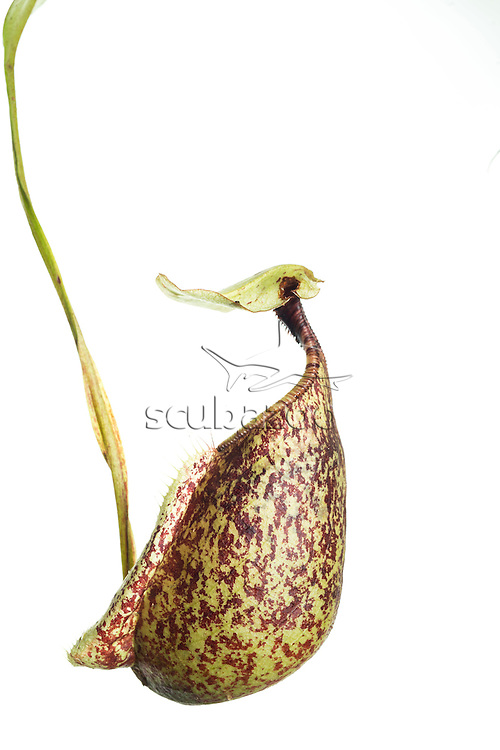 A studio shot of a Slender Pitcher Plant, Nepenthes gracilis,  found in Sabah, Malaysian Borneo.