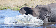 Elephant playing in water, Savuti Channel, Okavango Delta, Botswana.
