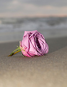 Rose taken at a beach in Oceanside CA, after a wedding for a friend.  As we were taking some shots of them along the shore a rose from the bouquet was dropped on the beach.  I quickly shot a picture of the rose before it was picked up.