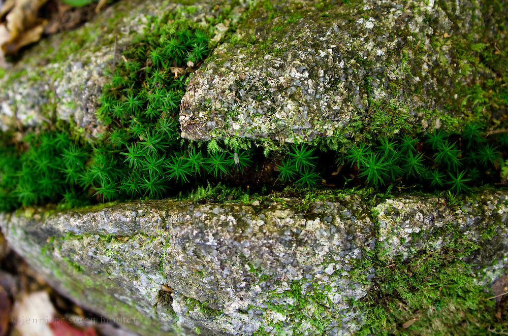 Haircap Moss (Polytrichum commune) creeping though cracks in stone, Baxter State Park, Maine.