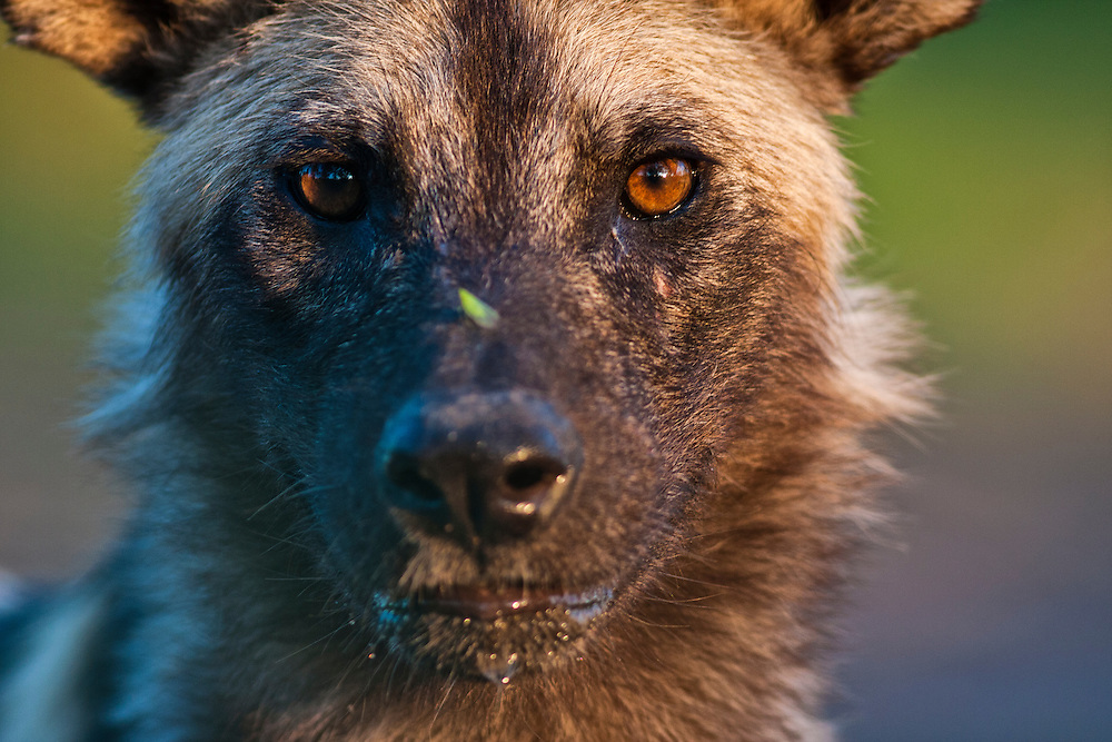 Portrait of an African Wild Dog, Zimbabwe.