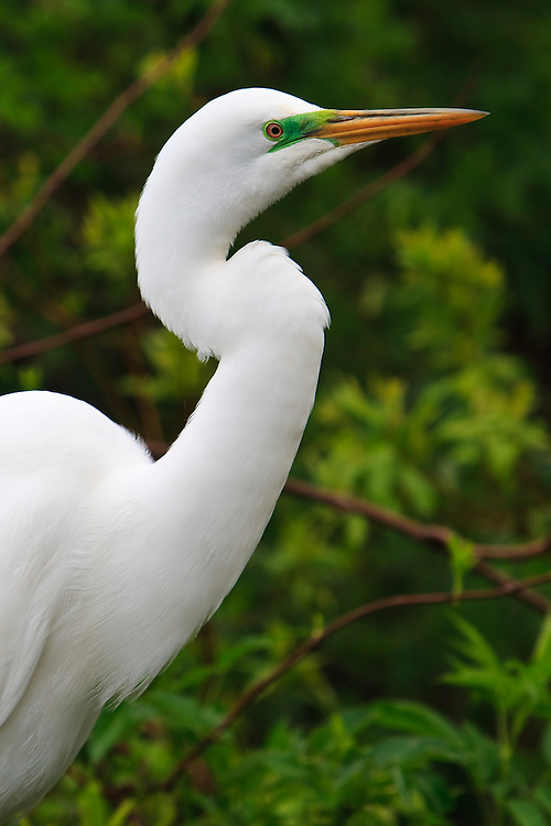 Close-up portrait of a wild nesting great egret (Ardea alba) at a rookery in a natural swamp exhibit at the St. Augustine Alligator Farm, Anastasia Island, St. Augustine, Florida