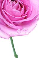 Rose on white background - close-up