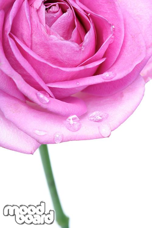 Rose on white background - close-up