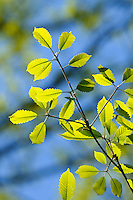 Chestnut oak leaves, Quercus prinus, early srping