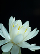 Nymphaea 'Odorata Alba' - waterlily