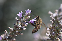 bee in greece..Photograph by Cecile Etzi - Photograph by Owen Franken