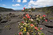 Ohia Tree, Lehua Blossom, Kilauea Iki, HVNP, Kilauea Volcano, Big Island of Hawaii