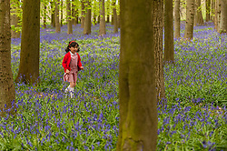 © Licensed to London News Pictures. 01/05/2015. Ringshall, Hertfordshire, UK. Louisa Samtani, aged 6, runs through the bluebells. Just in time for the early May bank holiday, the bluebells are nearly in full bloom in Dockey Wood, part of the Ashridge Estate. This wood is renowned for its carpet of bluebells every spring and is regarded as one of the finest examples in the country. Photo credit : Stephen Chung/LNP