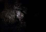 portrait of a black miniature poodle closeup