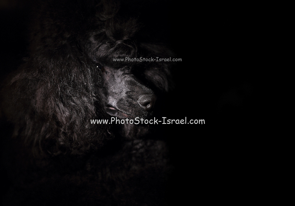 portrait of a black miniature poodle closeup