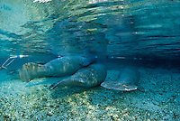 Florida manatee, Trichechus manatus latirostris, a subspecies of the West Indian manatee, endangered. February 29, 2008, rare series of the documented first day of a newborn male manatee calf that takes place out front of Three Sisters in the shallow waters in front of the manatee sanctuary. The rare event begins about an hour after sunrise. No other people, besides myself, came for almost an hour so this depicts natural manatee behaviors. It was an unusually cold, late winter morning. The newborn male calf is on his mother's back, with escort female on his left. They are flanked on either side by the curious other female manatee and curious male manatee.  The manatees are in front of the sanctuary because the water level is too shallow inside the sanctuary on this morning and there may be less room to escape curious manatee inside the sanctuary at this time. Horizontal orientation with mixing blue, aqua and green waters, lit by rainbow sun rays. Three Sisters Springs, Crystal River National Wildlife Refuge, Kings Bay, Crystal River, Citrus County, Florida USA.