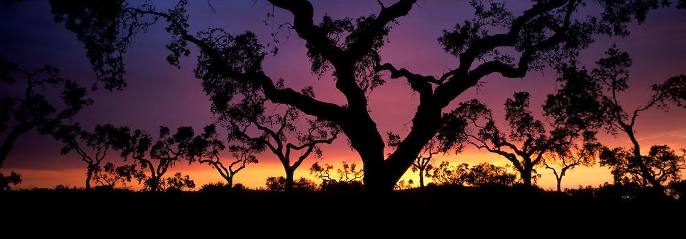 SPAIN, ANDALUSIA Cork trees at sunset near the Portuguese border north of Huelva