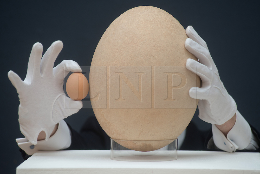 © Licensed to London News Pictures. 27/03/2013. London, UK. James Hyslop, a Scientific Specialist at Christie's auction house holds a complete sub-fossilised elephant bird egg and chicken's egg on March 27, 2013 in London, England. This elephant bird egg which measuring 100 times the average size of a chicken egg is expected to fetch 30,000 GBP when it features in Christie's sale, which is to be held on April 24, 2013..Photo credit : Peter Kollanyi/LNP