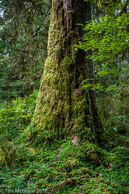 Moss covered tree trunk, Hoh Rain Forest, Olympic National Park, Washington State.