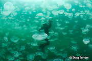 photographer Nathan Meadows in jellyfish swarm ( aggregation of moon jellies, Aurelia labiata ), Port Fidalgo, Alaska ( Prince William Sound )  MR 422
