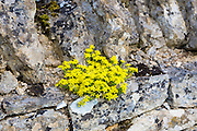 Yellow small wildflowers in bloom and lychen on old drystone wall in summer in The Cotswolds, Oxfordshire, UK